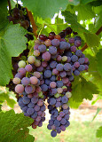 Wine Grapes by Rae Allen.jpg