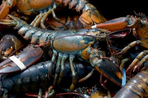 Fresh Maine Lobster are available year round in Rockland/Camden area.