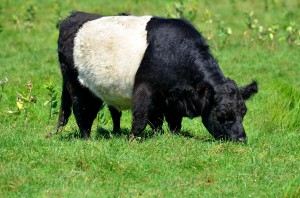 Belted Galloway or Oreo Cow at Aldermere Farm in Rockport.