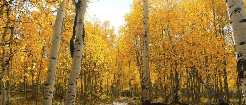 forest of birch trees with yellow foliage