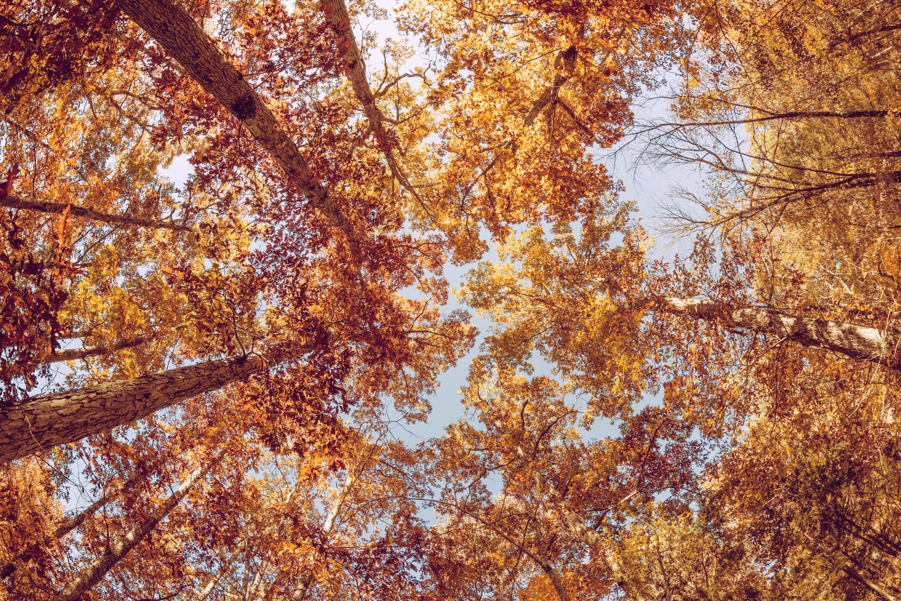 Looking up at the tops of trees full of yellow and orange leaves in the fall
