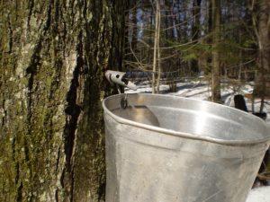 metal sap bucket on a maple tree