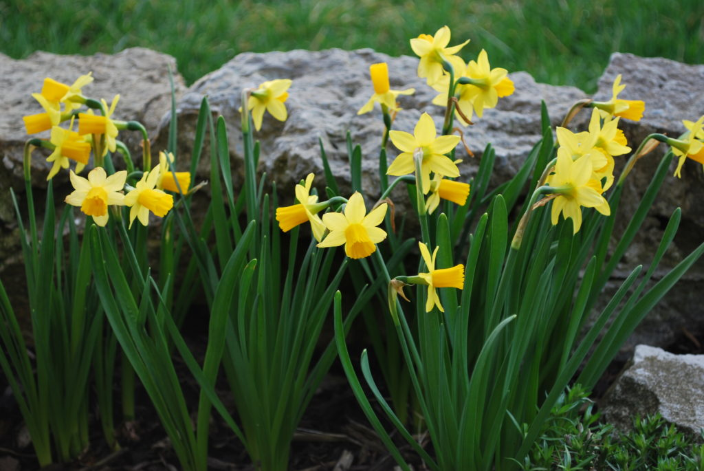 yellow daffodils against a rock wall