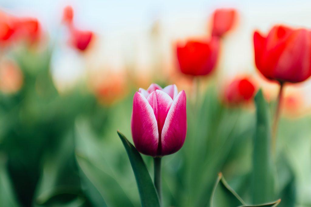 bright pink tulip